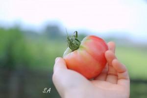 抗酸化力のあるトマト